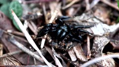 remains of a dead sydney funnel web in a garden in australia