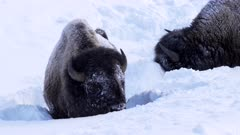 winter clip of two bison searching for grass in deep snow at yellowstone national park in wyoming, usa