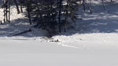 distant shot of a wolf chasing ravens away from an elk carcass during winter in yellowstone national park in wyoming, usa