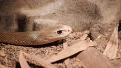close up of a dangerous coastal taipan from northern australia, the third-most venomous land snake in the world