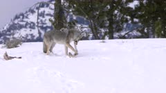 winter clip of a coyote chewing the leg bone of a carcass at yellowstone national park in montana, usa