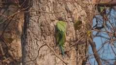 a high frame rate clip a rose-ringed parakeet entering a nest hollow in a tree at agra, india