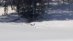 long shot of a wolf pack feeding on an elk bull during winter at yellowstone national park in wyoming, usa
