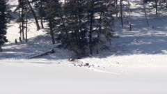long shot of a wolf pack playing in winter snow at yellowstone national park of wyoming, usa
