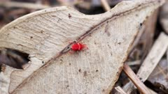 close up of a red velvet mite walking on a dead leaf in an australian forest
