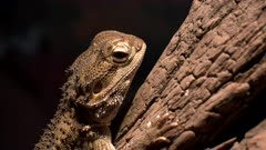 close up of a the head of a captive dwarf bearded dragon in australia