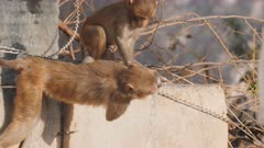 high frame rate clip of a macaque monkey pair drinking from a water faucet in agra, india