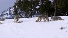 winter shot of two coyotes feeding and one walking at yellowstone national park in montana, usa