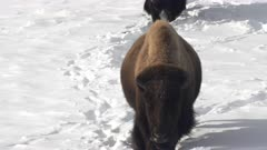 tilt up clip of two bison walking in winter snow in lamar valley at yellowstone national park in wyoming, usa