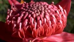 extreme close up macro shot of a nsw waratah bloom at brisbane water national park in australia
