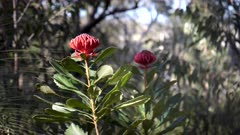 wide shot of two waratah plants in flower at brisbane water national park in australia