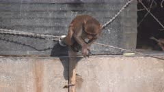 high frame rate close up clip of a macaque monkey drinking from a water tap in agra, india