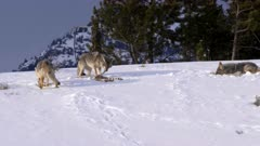 winter shot of three coyotes feeding on the bones of a carcass in yellowstone national park of montana, usa