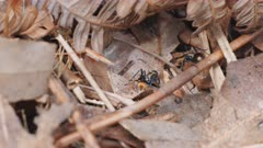 high frame rate clip of several golden tailed spiny ants foraging in an australian forest