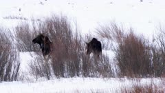 rear view of two moose feeding on willows at yellowstone national park in montana during winter