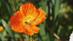 high frame rate clip of a bee collecting pollen from a poppy flower in the australian capital territory of australia