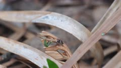 high frame rate clip of a juvenile maratus volans spider stalking a caterpillar. M. volans is an australian peacock spider