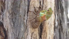 side view of a cicada emerging from its shell on a gum tree at ebor in nsw, australia