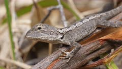 close up side view of a jacky dragon lizard sunning itself on a log in an australian forest