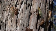 tilt up clip of newly emerged cicadas on a eucalyptus tree at ebor in nsw, australia