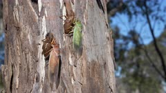 wide view of two color forms of cicada, a green cicada and a brown cicada,  on a eucalyptus tree at ebor in nsw, australia