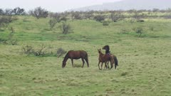 tracking shot of two wild horses fighting at kosciuszko national park in nsw, australia