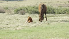 brumby foal sits beside its mother at long plain in kosciuszko national park of nsw, australia