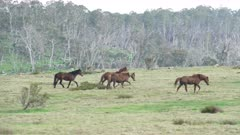 tracking clip of a herd of brumbies running across a hill in kosciuszko national park of nsw, australia