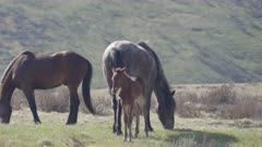 close up of brumby foal standing next to its mother at kosciuszko national park in nsw, australia