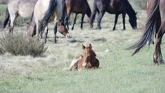 a brumby foal rests on the ground at kosciuszko national park in nsw, australia