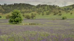 zoom in on a field covered in purple paterson's curse flowers near brungle of nsw, australia