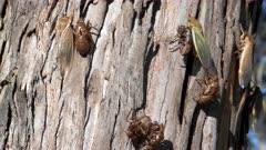 tilt up clip of cicadas and their shells on a eucalyptus tree trunk at ebor in nsw, australia