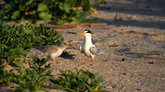 an adult little tern feeding a fish to a chick on a beach at the entrance in nsw, australia