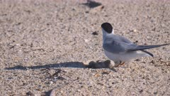 high frame rate clip of a little tern returning to sit on a chick and unhatched eggs on a beach at the entrance in nsw, australia