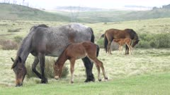 two brumby foals and their mothers at kosciuszko national park in nsw, australia
