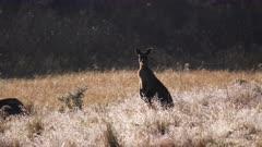 early morning shot of an alert kangaroo at kanangra-boyd national park in nsw, australia