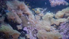 numerous anemone in a tropical reef tank at a public aquarium in sydney, australia