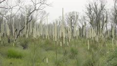 pan of flowering grass trees at kanangra walls in kanangra-boyd national park of nsw, australia