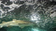 side view of a grey nurse shark in an aquarium at sydney, australia