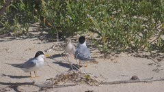 little tern offers a large garfish to a chick, the adult eats the fish to be regurgitated later
