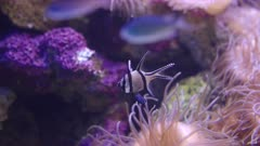a banggai cardinalfish in a public tropical aquarium at sydney, australia