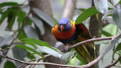 rainbow lorikeet stretches its wing at blackbutt nature reserve in newcastle, australia