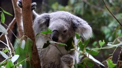 close up front view of a koala feeding on eucalyptus leaves at blackbutt nature reserve in newcastle, australia