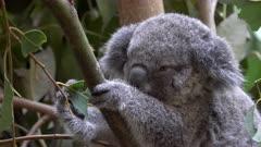 close up of a koala joey, in a tree, feeding on eucalyptus leaves at blackbutt nature reserve in newcastle, australia