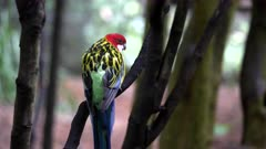 eastern rosella perches on a tree trunk then flies away at blackbutt nature reserve in newcastle, australia