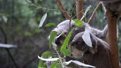 koala and joey feed together on gum leaves at blackbutt nature reserve in newcastle, australia