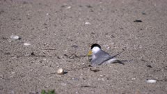 little tern removes an empty egg shell from its nest on a beach at the entrance in nsw, australia