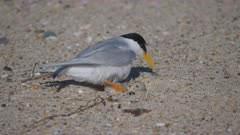 high frame rate close up of little tern returning to its eggs on a beach at the entrance in nsw, australia
