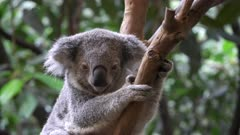 a koala, sitting in a tree, faces the camera at blackbutt nature reserve near newcastle, australia