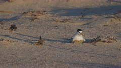 high frame rate front view of little tern chicks returning to its parent on a beach in australia
